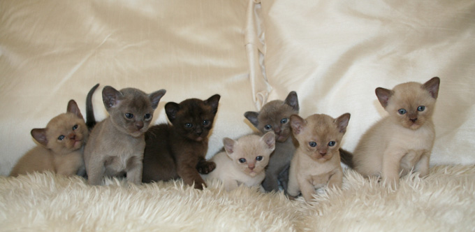 Burmese cat club calendar